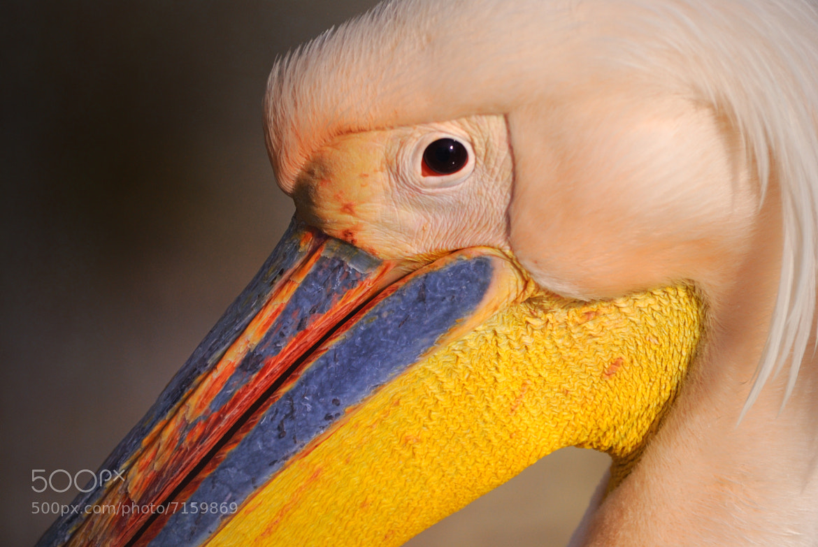Photograph Pelican by Islam Elwakil on 500px