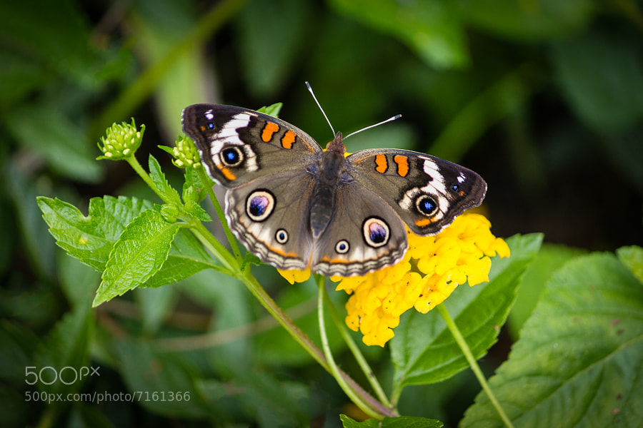 Buckeye Butterfly Closeup