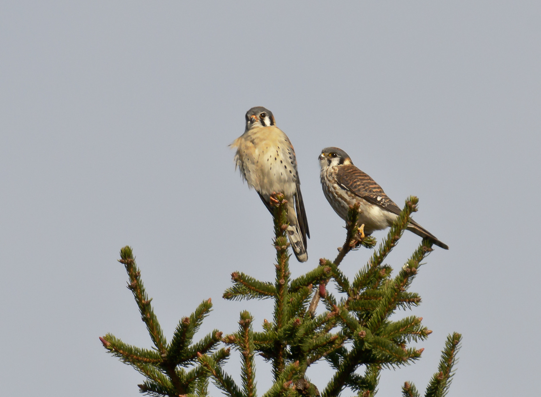 Photograph Kestrel Pair by Steven Kersting on 500px