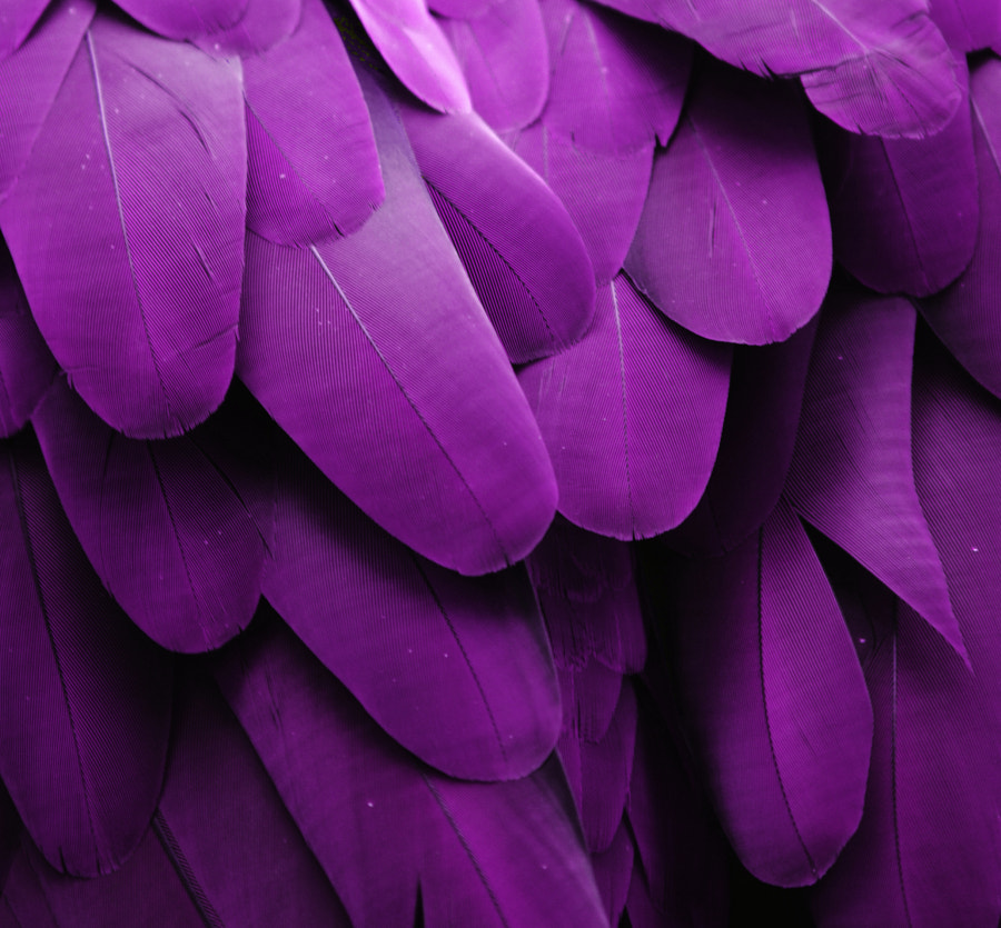 Purple Feathers by Michael Fitzsimmons on 500px