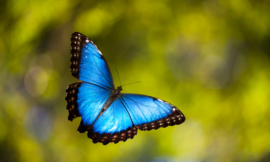 Photograph Morpho mid-air by Ricardo Jimenez on 500px