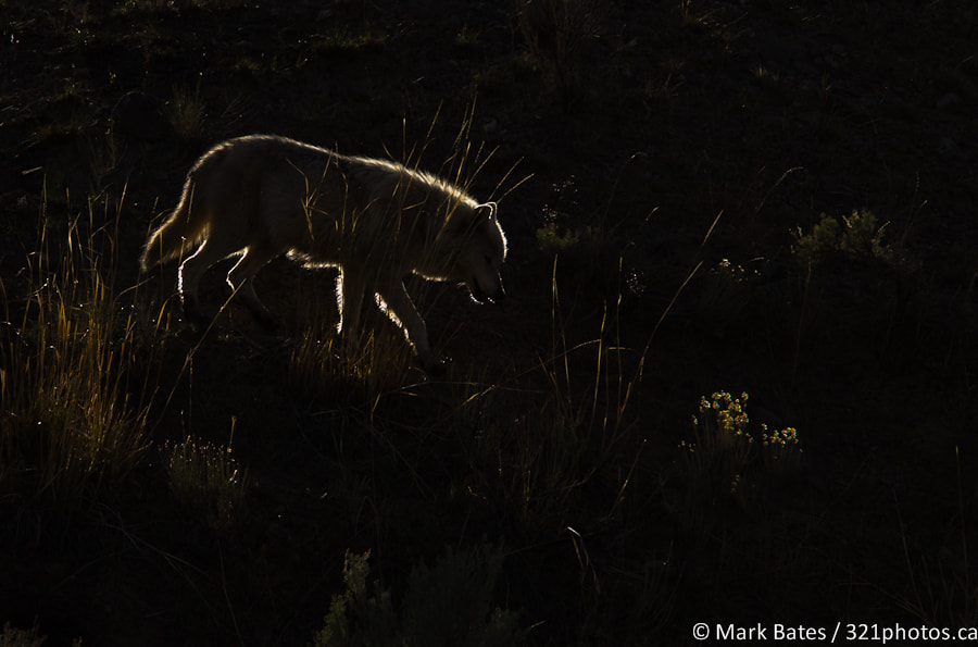 Photograph On The Prowl by Mark Bates on 500px
