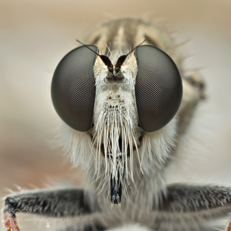 Robber fly close-up