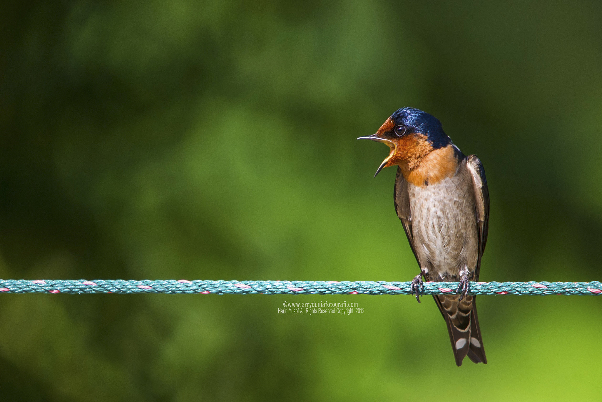 Photograph Pacific Swallow by HARIRI YUSOF on 500px
