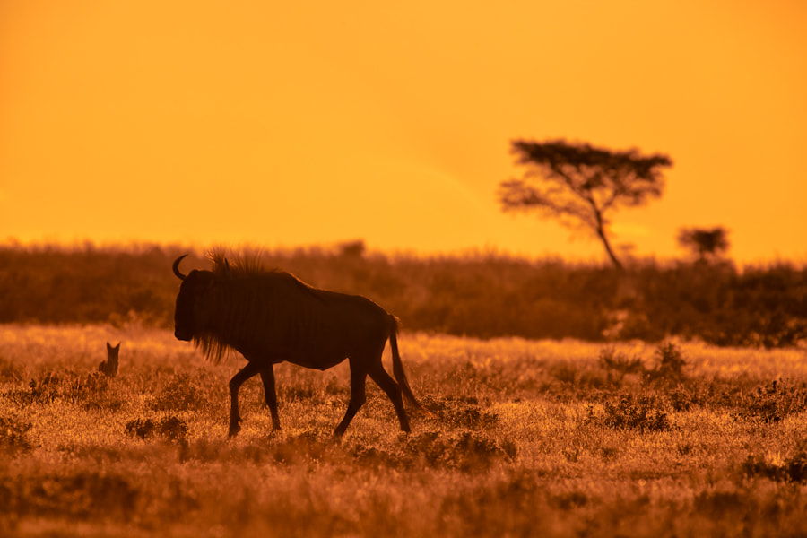 Photograph Wildebeest And The Jackal by Mario Moreno on 500px