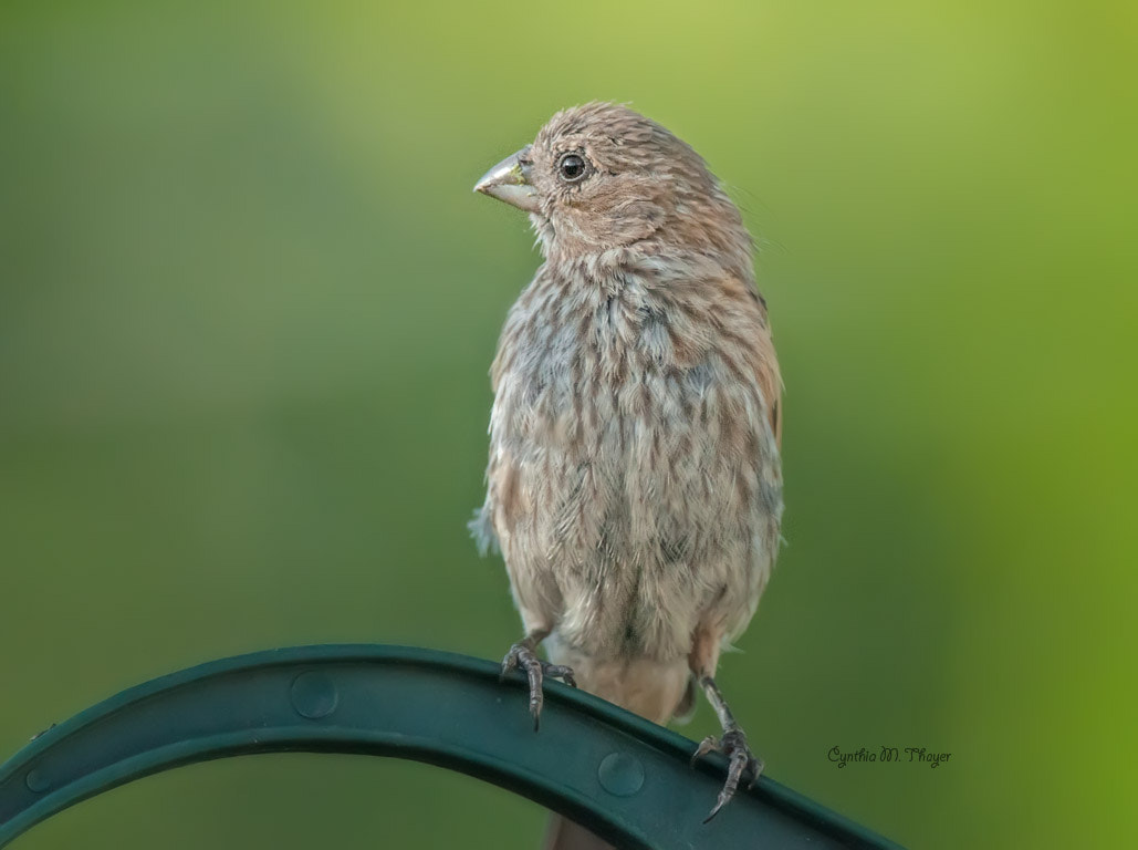 Photograph Female House Finch Profile by Cynthia Mathre Thayer on 500px