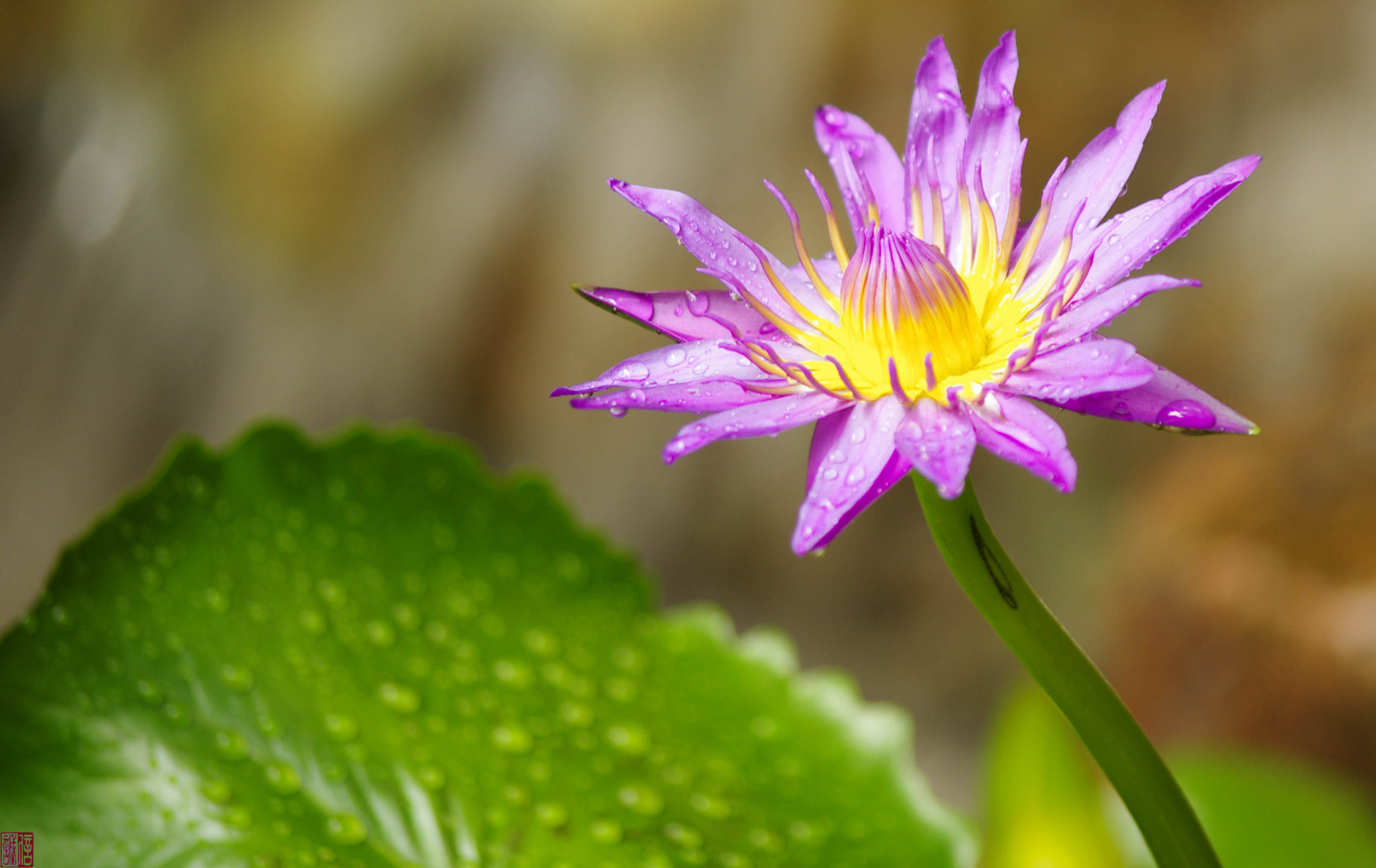 Photograph Water lily by Tin Phan on 500px