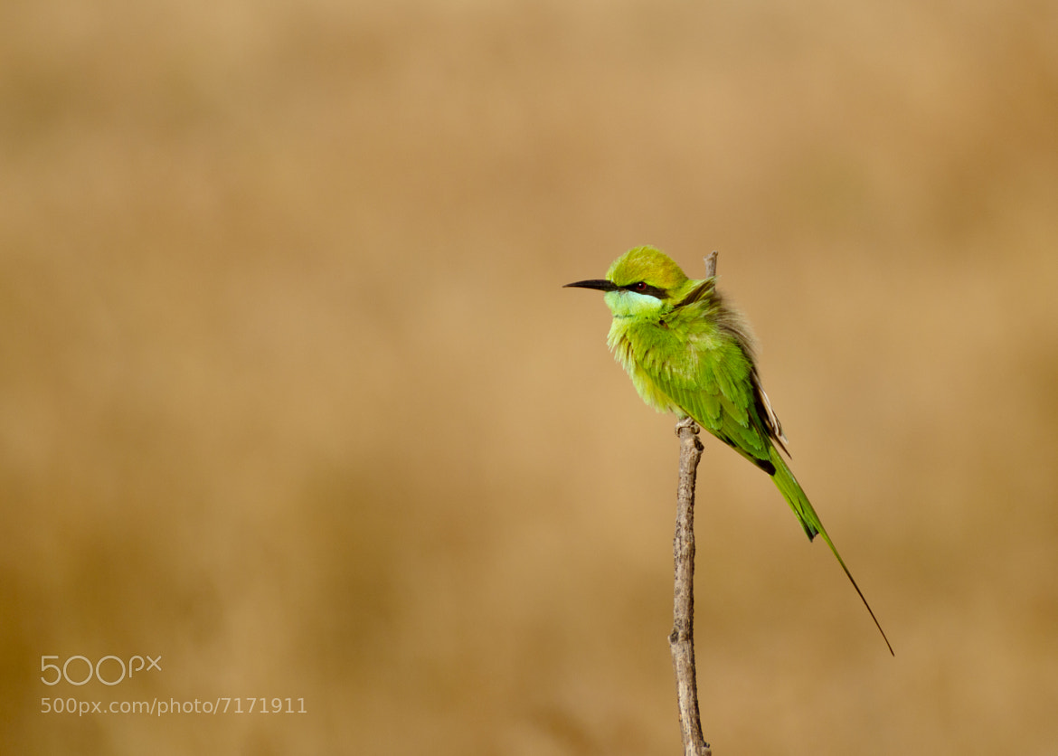 Photograph Green Bee Eater by Manohar Singh on 500px