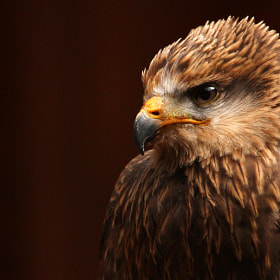 Black Kite by Alan Hinchliffe (incheye1971)) on 500px.com