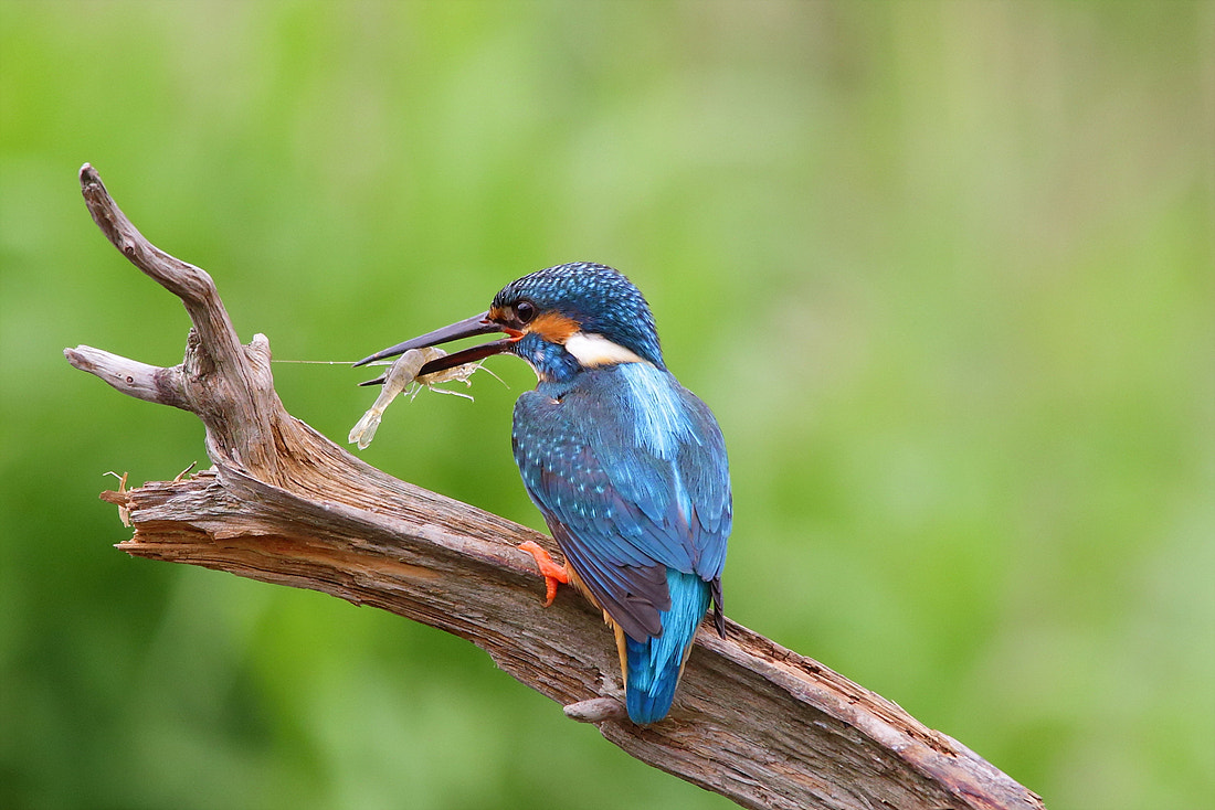 Photograph Kingfisher by Namgun Lee on 500px