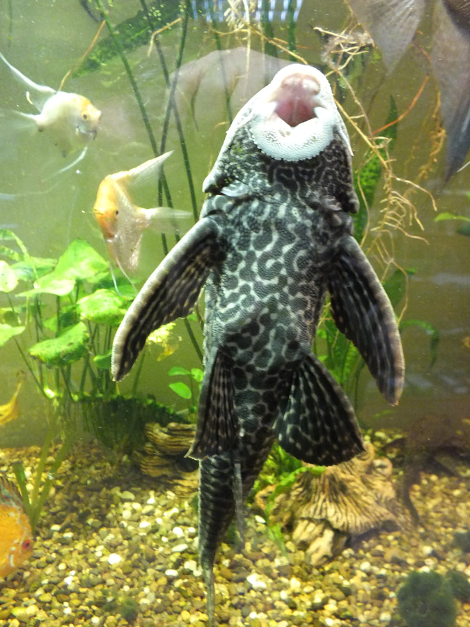 Sucker in the aquarium