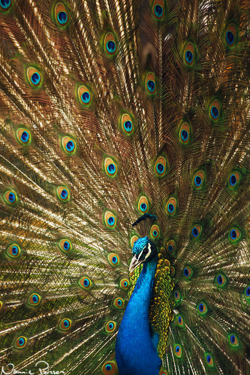 Photograph Mr Peacock by Nannie Persson on 500px