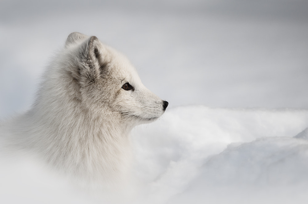 Photograph Arctic Fox by Andy Astbury on 500px