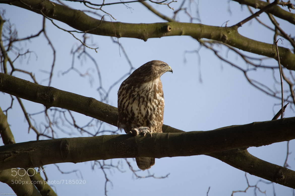 Photograph buzzard by Katrin Neumann on 500px