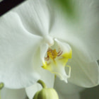 ������, ������: ����� ������� � White orchid