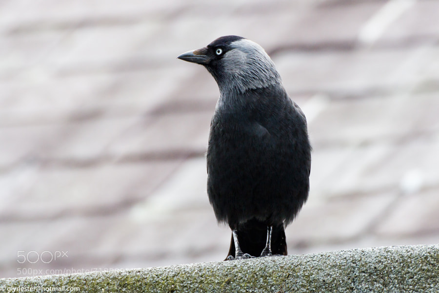 Alert jackdaw on a slate roof - Wales, UK  Measuring 34–39 centimetres in length, the western jackdaw is a black-plumaged bird with a grey nape and distinctive pale-grey irises. It is gregarious and vocal, living in small groups with a complex social structure in farmland, open woodland, on coastal cliffs, and in urban settings. An omnivorous and opportunistic feeder, it eats a wide variety of plant material and invertebrates, as well as food waste from urban areas. Western jackdaws are monogamous and build simple nests of sticks in cavities in trees, cliffs, or buildings. About five pale blue or blue-green eggs with brown speckles are laid and incubated by the female. The young fledge in four to five weeks.
