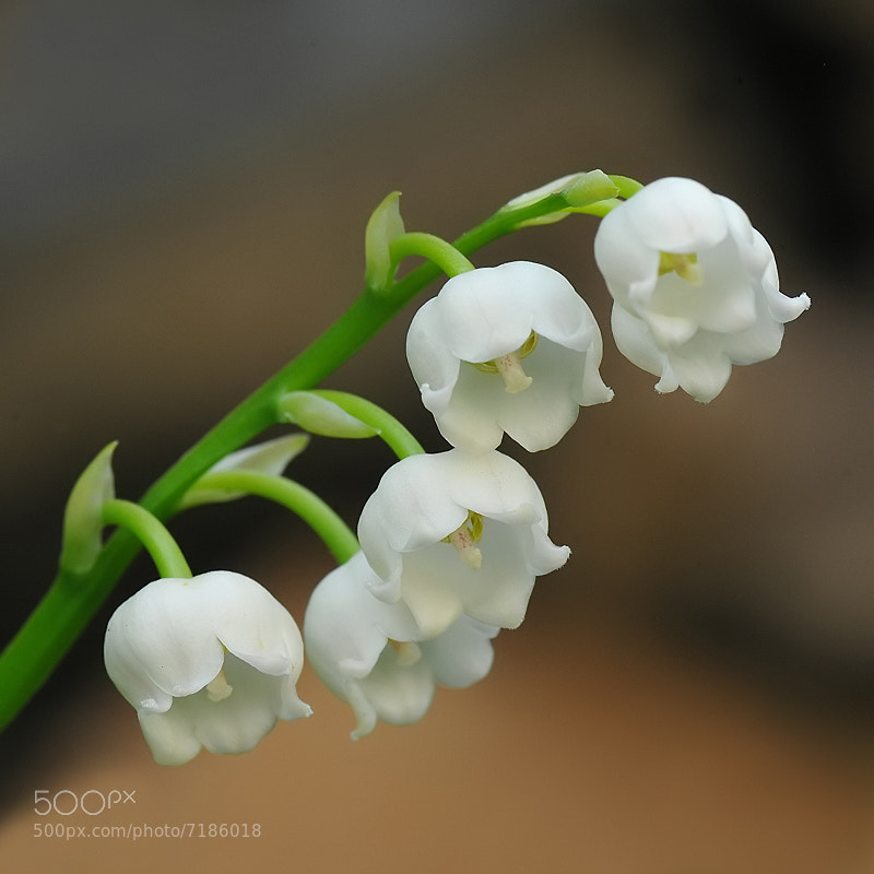 Photograph Convallaria majalis by Franco Mottironi on 500px