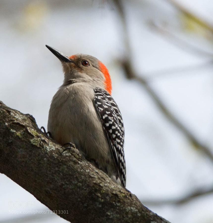 Female red-bellied woodpecker sitting in a tree.