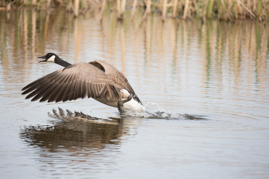Canada Goose taking off from the Wolf Prairie Pond
