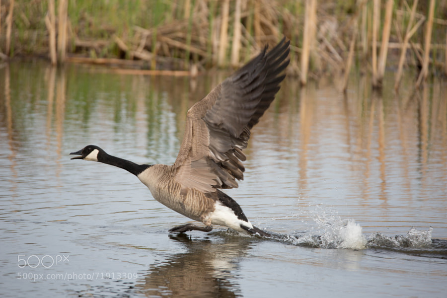 A Canada goose taking off from the pond at Wolf Prairie.