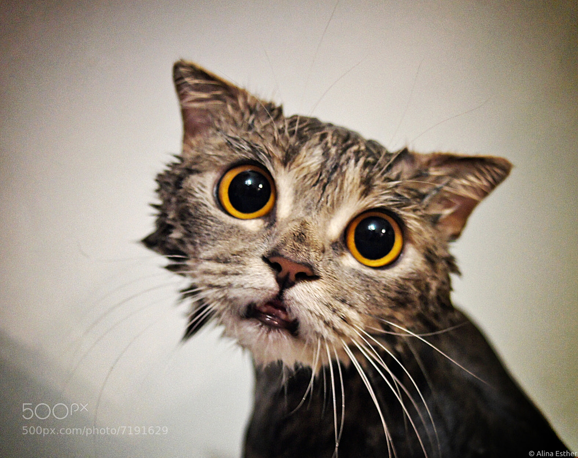 Photograph wet cat by Alina Esther on 500px