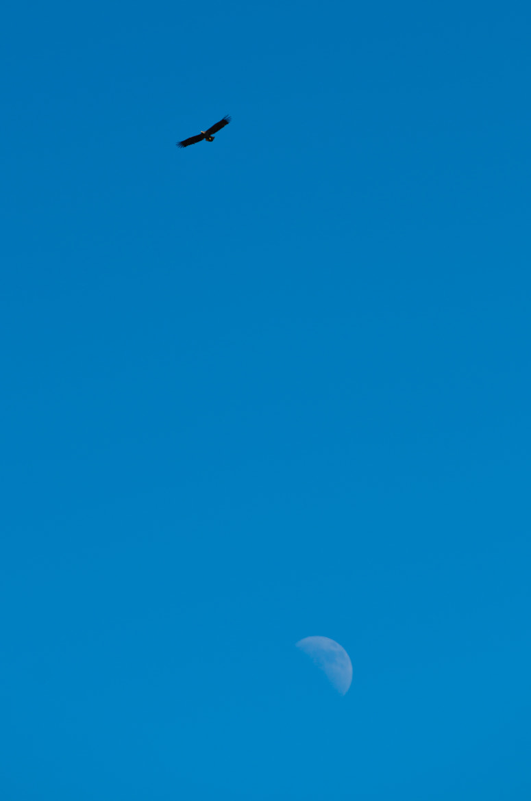 Photograph Eagle and moon by Kolbein Svensson on 500px