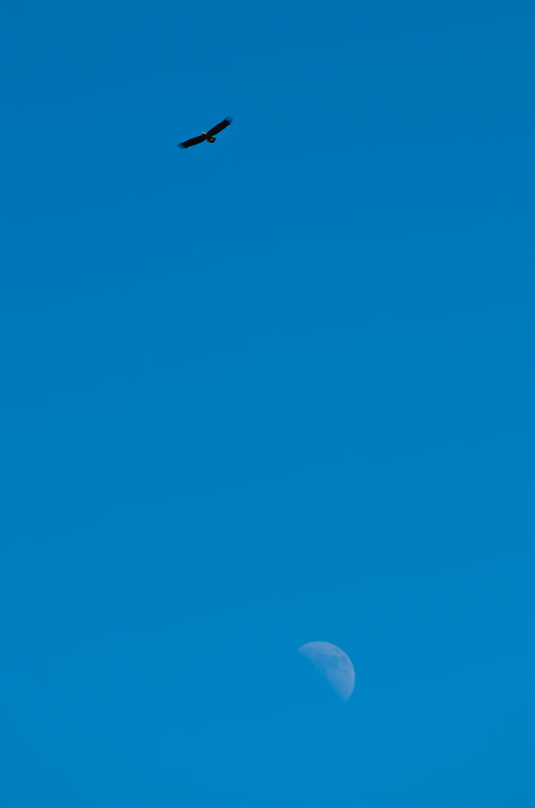 Eagle and moon