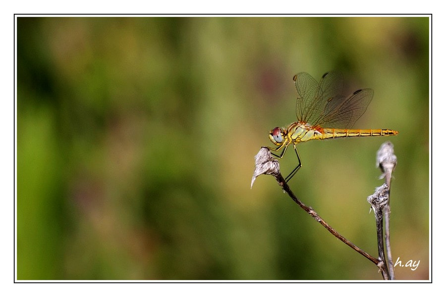 Photograph Dragonfly by HUSEYIN AY on 500px