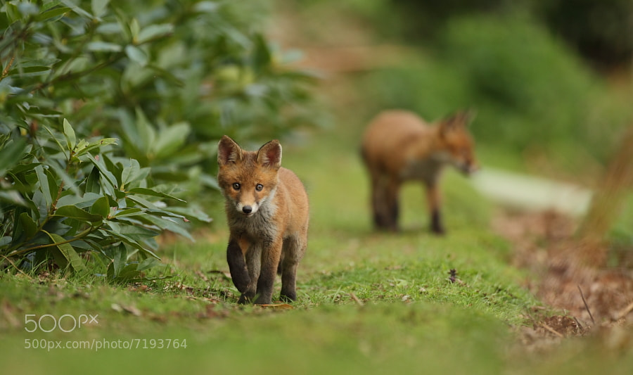 Photograph Fox cubs by Luke Massey on 500px