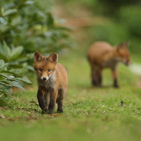 Fox cubs by Luke Massey (LukeMasseyImages)) on 500px.com