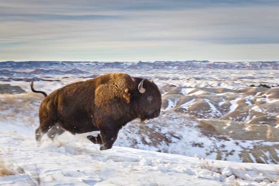 More from the Wide-angle Wildlife series. This bison is running past me at a distance of about 25 feet. I am using a 24-105 zoom at 45mm on a full-frame camera.  All that=close!