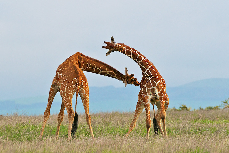 Photograph Giraffes Necking by Sean Crane on 500px