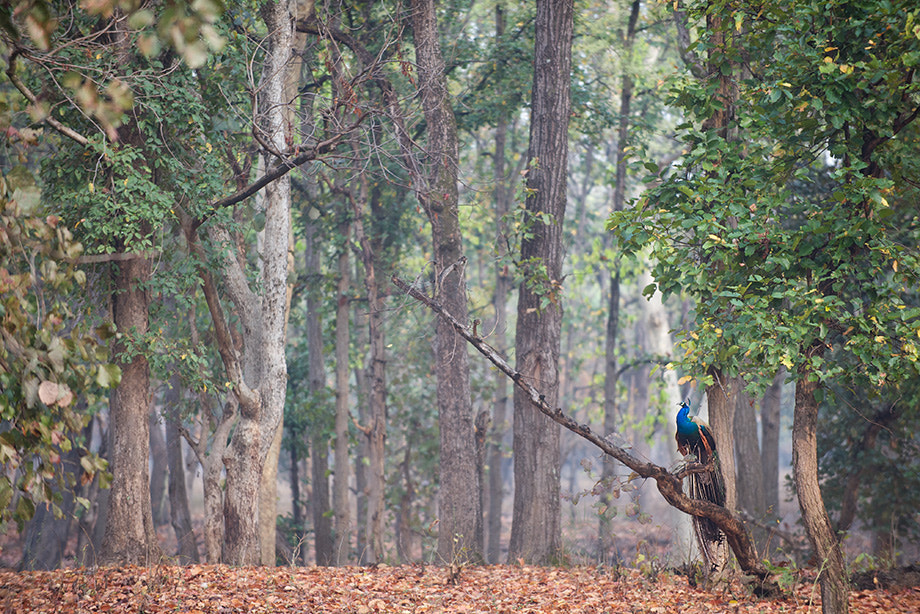 Photograph Blue Peacock and Forest by Sean Crane on 500px