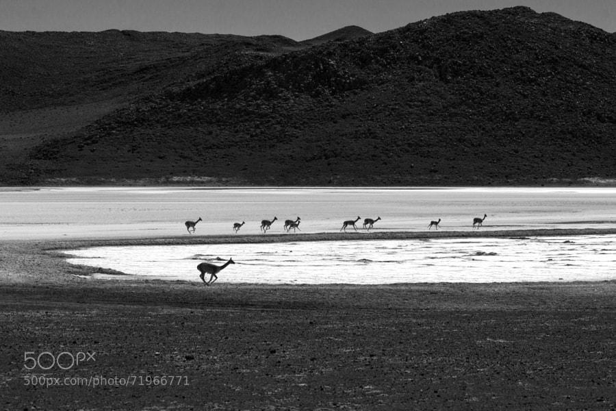 Vicunas running. Laguna Charcota - Bolivia.