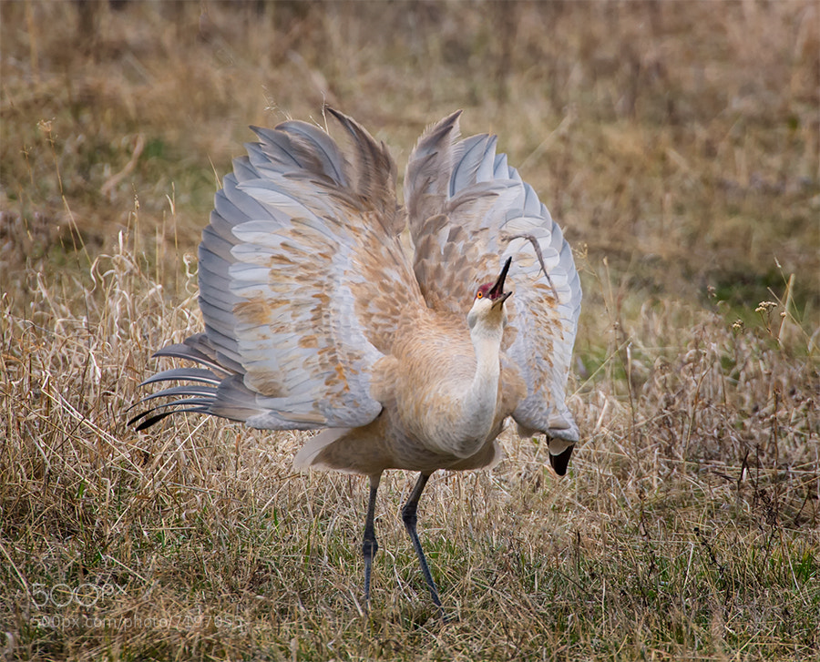 Photograph Sandhill Crane mating dance by Christopher R. Gray on 500px