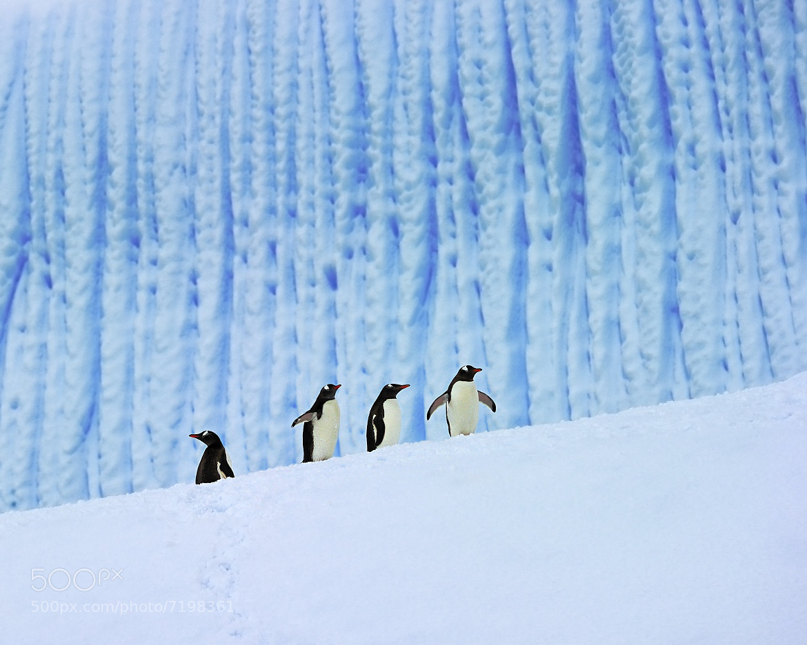 Photograph Gentoos On Ice by Tony Beck on 500px