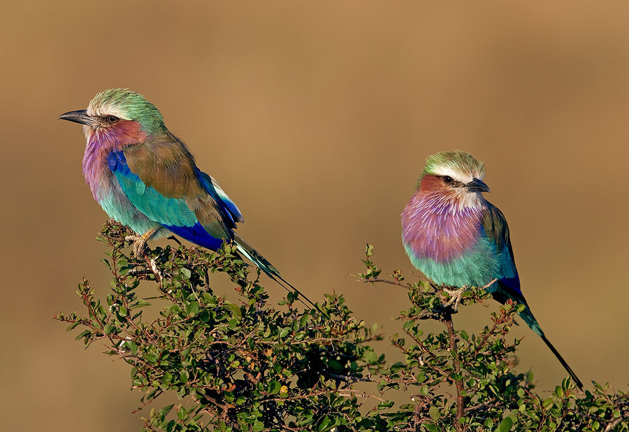Photograph Lilac-breasted Rollers by Ludmila Yilmaz on 500px
