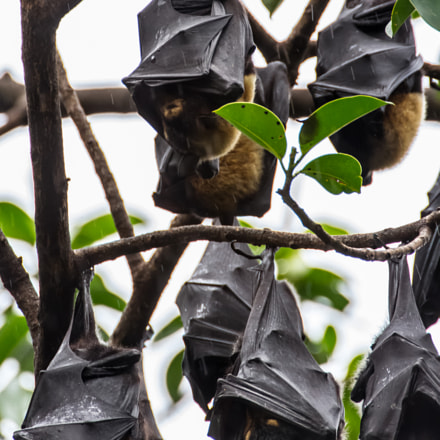 Colony of Spectacled Flying Foxes (Pteropus conspicillatus)