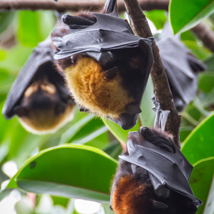 Colony of spectacled Flying Foxes