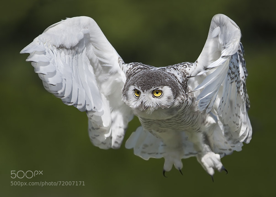 Photograph Snow Owl by Stefano Ronchi on 500px