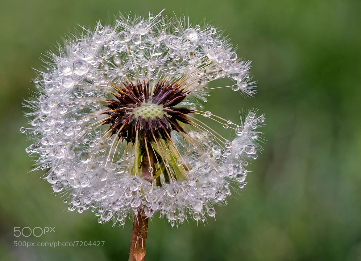 Photograph Dandelion Dew by Matthew Porter on 500px