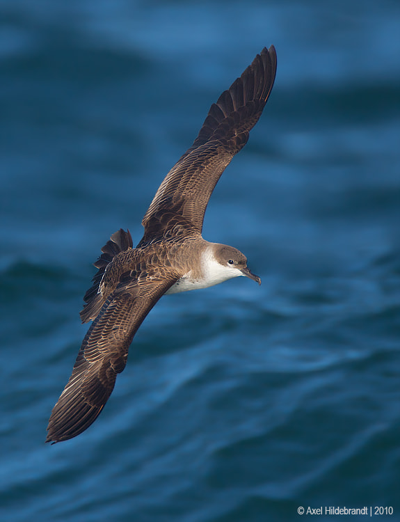 Photograph Greater Shearwater by Axel Hildebrandt on 500px