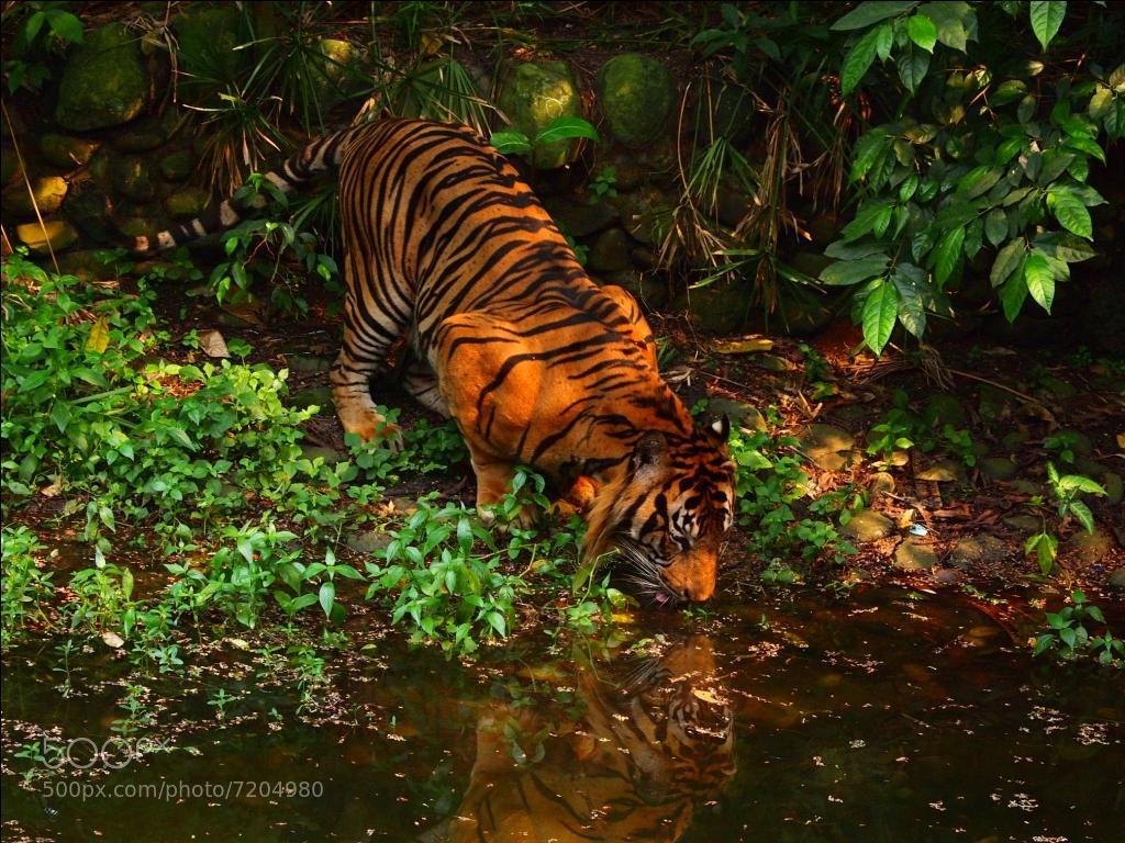 Photograph Sumatran tiger by pandu shashi on 500px