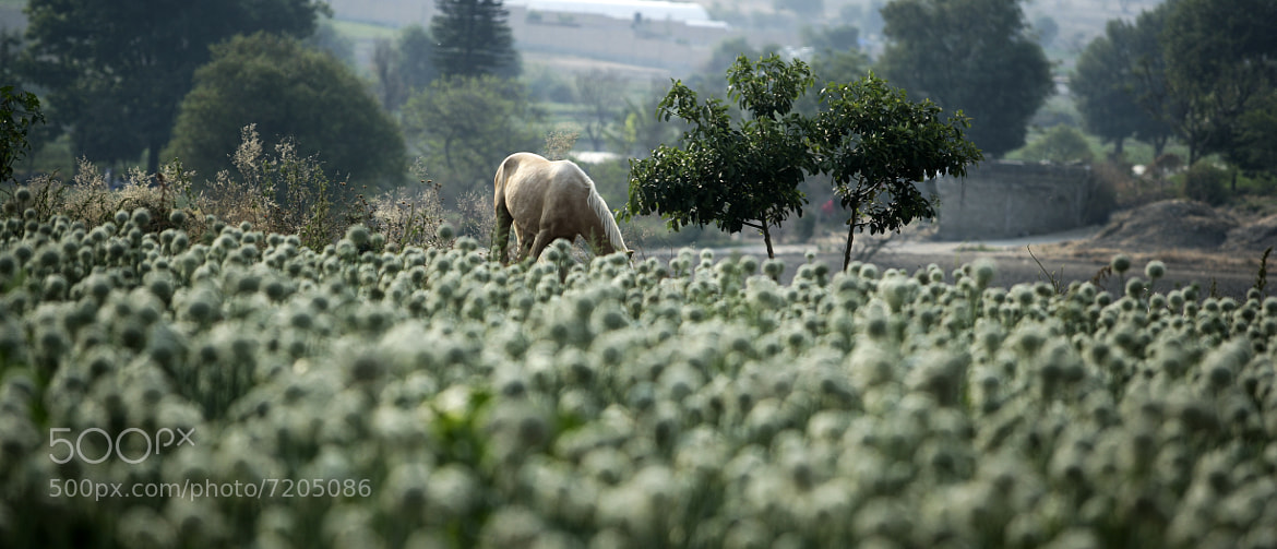 Photograph Horse at the flower field by Cristobal Garciaferro Rubio on 500px