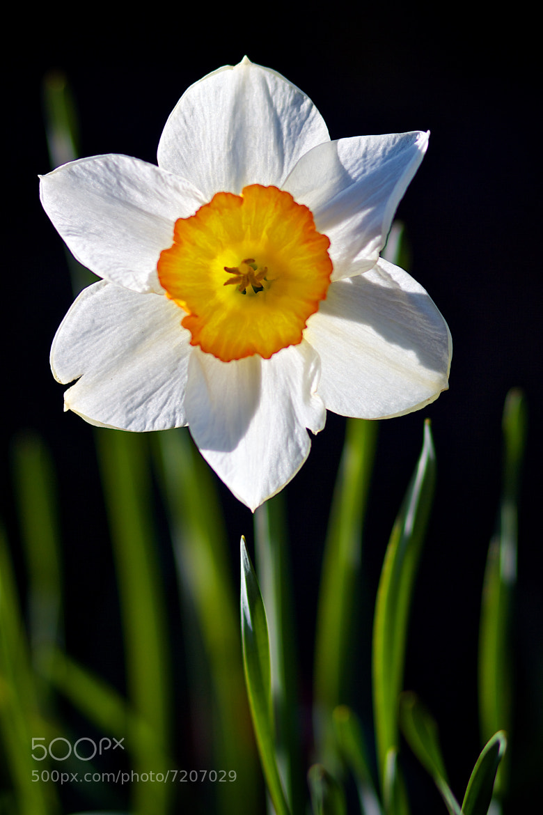 Photograph Daffodil by Katalin Gerencsér on 500px