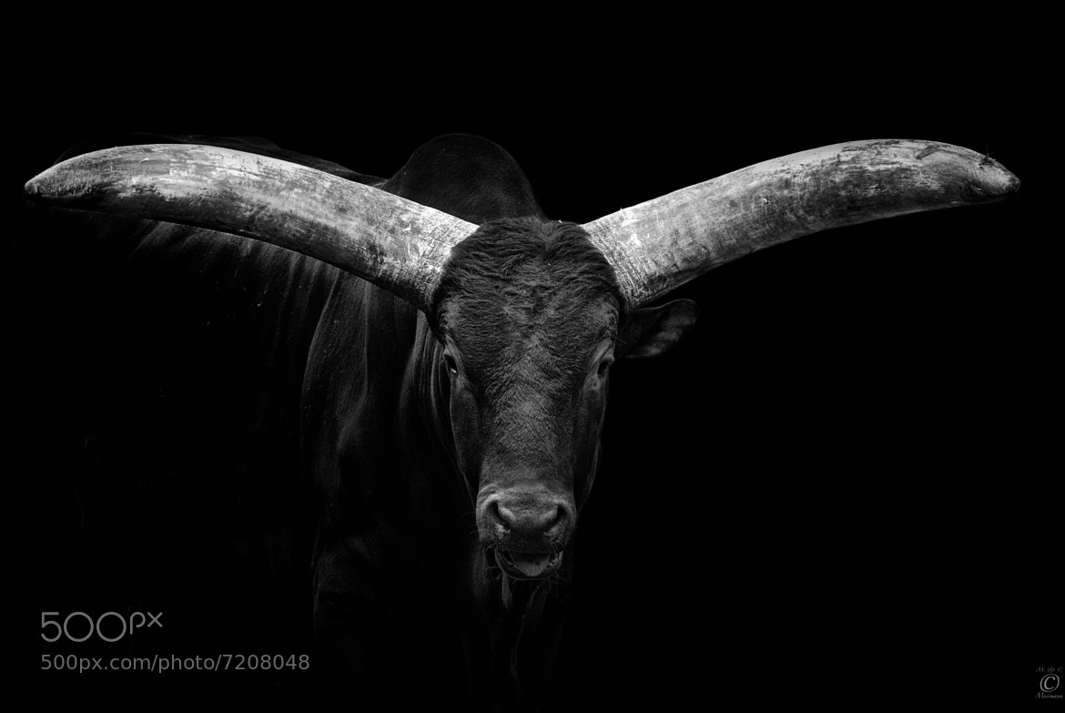 Photograph Watusi on Black by Christian Meermann on 500px
