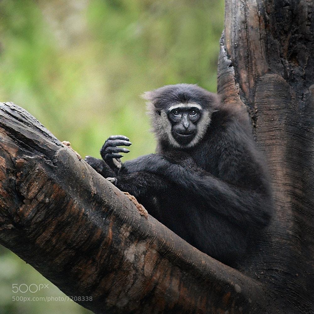 Photograph Bornean Gibbon by Irawan Subingar on 500px