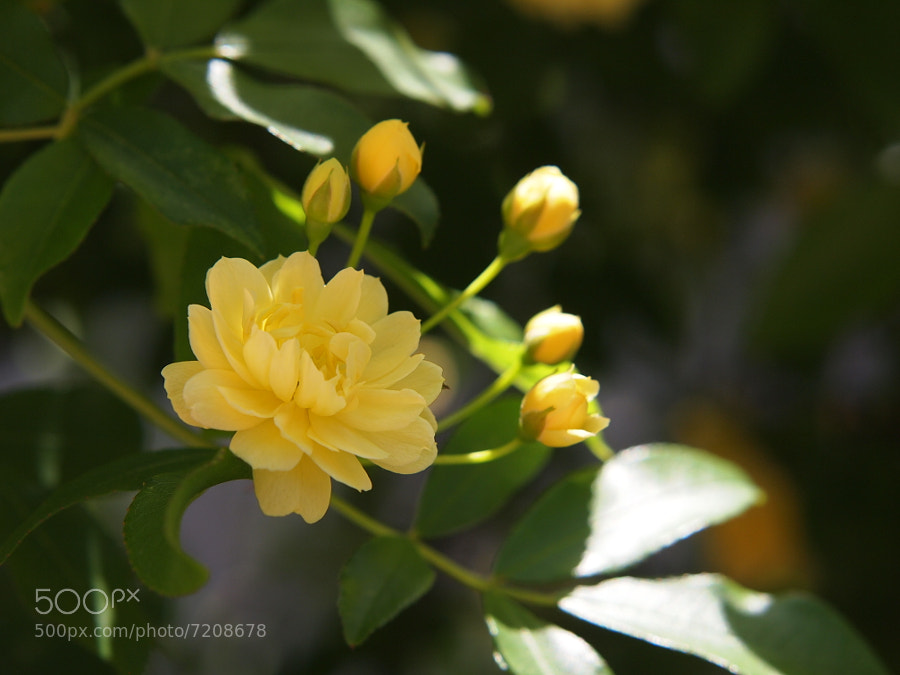 Banksia rose by Naoko Yamamoto (NaokoYamamoto) on 500px.com