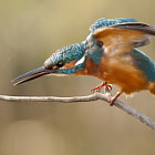 Common kingfisher (Alcedo atthis) performing.