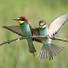 Bee eaters (Merops apiaster) landing and posing.